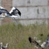14 cigüeñas vuelven a los cielos de Alcalá tras pasar por el hospital