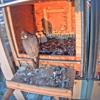 El Gran Hermano del halcón peregrino en Alcalá de Henares