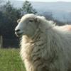 Adopta una oveja en la Casa de Campo de Madrid