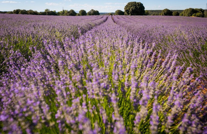 El espectáculo de los campos de lavanda en flor, en Brihuega