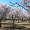 Los almendros en flor de la Quinta de los Molinos, un espectáculo único que merece la pena conocer