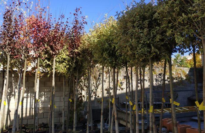 San Fernando pone en marcha el 'II Plan Municipal de Arbolado' que incluye la plantación de cerca de 300 ejemplares