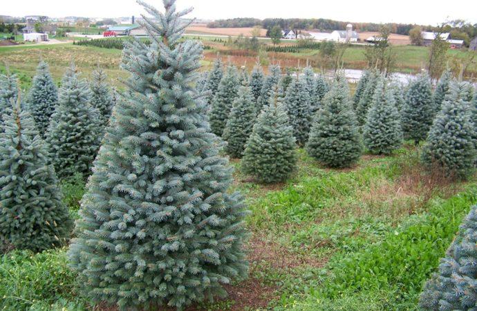 Torrejón replantará los árboles que han adornado las casas durante las fiestas navideñas en zonas verdes de la ciudad
