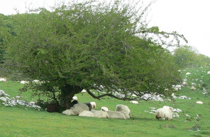 Un proyecto de la UAH apoya al pastoreo tradicional que se une a la ciencia para proteger la red eléctrica española